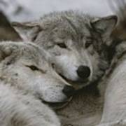 A Couple Of Gray Wolves, Canis Lupus Poster by Jim And Jamie Dutcher