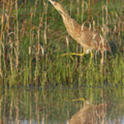 American Bittern Along The Shore Poster