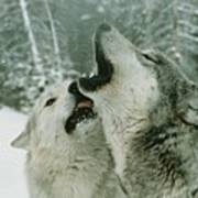 An Alpha Male Gray Wolf, Canis Lupus Poster by Jim And Jamie Dutcher