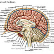 Anatomy Of The Brain, Illustration Poster