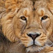 Angolian Lion Poster