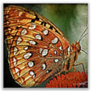 Aphrodite Fritillary 1 Poster