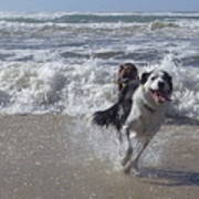 Australia - Border Collie Runs Out Of The Surf Poster