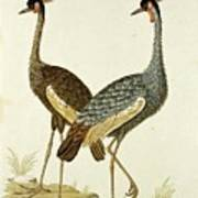 Balearica Regulorum Grey Crowned Crane, Robert Jacob Gordon, 1777 - 1786 Poster