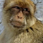 Barbary Macaque Looking Away In Annoyance Poster