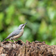 Beautiful Nuthatch Bird Sitta Sittidae On Tree Stump In Forest L Poster