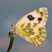 Becker's White Butterfly Poster