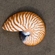 Bellybutton Nautilus - Nautilus Macromphalus Poster
