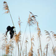 Black Bird In Cat Tails Poster