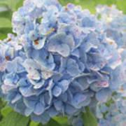 Blue Hydrangea At Rainy Garden In June, Japan Poster