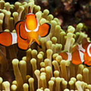 Clown Anemonefish Poster