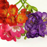 Colorful Freesia Poster