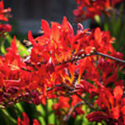 Crocosmia Lucifer Poster
