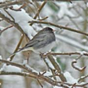 Dark-eyed Junco - Snowbird Poster
