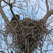 2 Eagles On Nest  3172b  Poster
