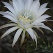 Echinopsis  Poster