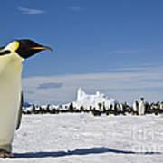 Emperor Penguin Poster