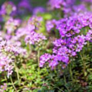 Flowering Thyme Poster