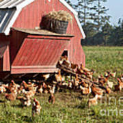Free Range Chickens Poster