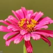 Fuchsia Pink Zinnia From The Whirlygig Mix Poster