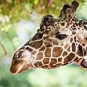 Giraffe Feeding On Green Leaves Of Lettuce Poster