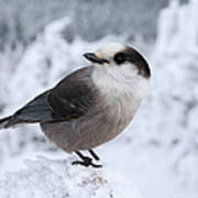 Gray Jay - White Mountains New Hampshire Usa Poster by Erin Paul Donovan