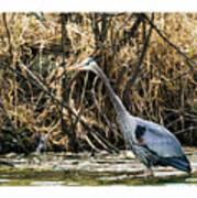 Great Blue Heron Fishing Poster