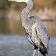 Great Blue Heron In Stanley Park Vancouver Poster