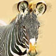 Grevys Zebra, Samburu, Kenya Poster