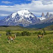 Guanacos In Torres Del Paine Poster