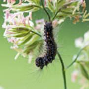 Gypsy Moth Caterpillar Poster