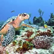 Hawksbill Turtle Feeding On Sponge Poster by Karen Doody