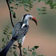 Hornbill In Kenya Poster