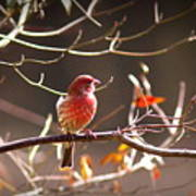 Img_0001 - House Finch Poster