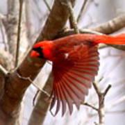 Img_0001 - Northern Cardinal Poster
