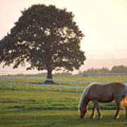 Irish Horse In The Gloaming Poster