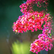 Lagerstroemia Indica Crape Myrtle Crepe Myrtle Poster