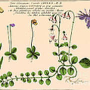 Linnaea Borealis, Linnaeuss Favorite Poster