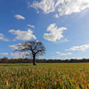 Lone Oak Tree In English Countryside Poster