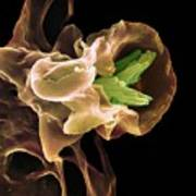 Macrophage Engulfing Tb Bacteria, Sem Poster by
