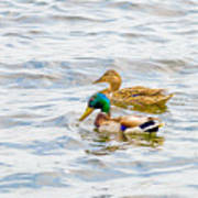 Male And Female Ducks Poster