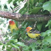 2 Male Western Tanagers Poster