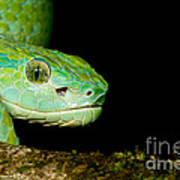 Marchs Palm Pitviper Poster