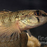 Mobile Logperch Percina Kathae Poster