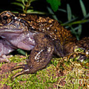 Noras Spiny Chest Frog Poster