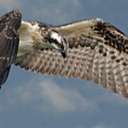 Osprey Flight Poster