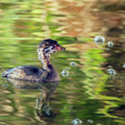Pied-billed Grebe Bubbles Poster