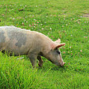 Pig In A Pasture Poster