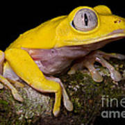 Red-eyed Treefrog, Xanthic Form Poster