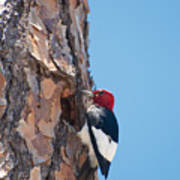 Red Headed Woodpecker Poster